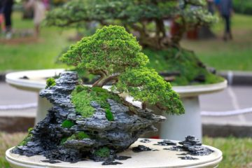 The Chinese Elm (Ulmus Parvifolia) is one of the most popular types of bonsai trees that are grown by many bonsai and gardening enthusiasts.  A key reason for this popularity is because unlike many other types of bonsai trees that are difficult to manage and need lots of concern and time, the Chinese Elm bonsai is relatively easy to handle due to its large natural resilience and vigor.  In fact, many bonsai experts would recommend the Chinese Elm tree for beginners and first-timers who are just looking to cultivate their first bonsai. The Chinese Elm, for instance, can tolerate several neglects due to its vigorous nature and can thrive both indoors and outdoors for versatility.