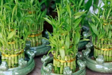 The lucky bamboo is a real bamboo plant, typically from the species Dracaena sanderiana. It is relatively small and you can put it in a pot and place it indoors as a Feng Shui charm, and it is quite aesthetically-pleasing so it can also act as a decoration. The lucky bamboo has been popular for centuries not only in China but in various other eastern cultures like Japan.
