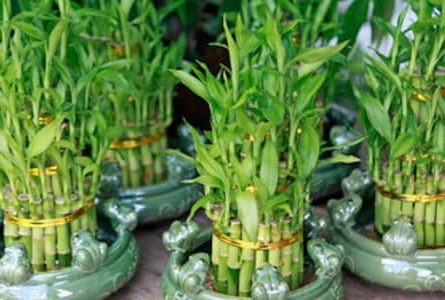 Lucky Bamboo in Feng Shui (Meaning, Placement, Care)